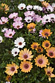 MIX OF OSTEOSPERMUM FRUTICOSUM; SIDE SHOW CORAL APRICOT, SIDE SHOW WHITE, SIDE SHOW BICOLOR PURPLE, SIDE SHOW PRIMROSE
