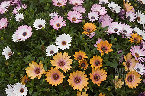 MIX_OF_OSTEOSPERMUM_FRUTICOSUM_SIDE_SHOW_CORAL_APRICOT_SIDE_SHOW_WHITE_SIDE_SHOW_BICOLOR_PURPLE_SIDE