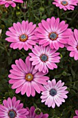 OSTEOSPERMUM SUNSCAPE DAISY SIDE SHOW BICOLOR PURPLE