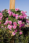 PETUNIA DOUBLE WAVE PINK IN HANGING BASKET