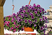 PETUNIA FORTUNIA PURPLE PICOTEE AND FORTUNIA BURGUNDY PICOTEE IN HANGING BASKETS