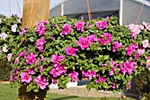 PETUNIA DOUBLE WAVE ROSE IN HANGING BASKET
