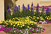 OSTEOSPERMUM ECKLONIS VOLTAGE YELLOW AND PETUNIA SHOCK WAVE ELECTRIC MIXTURE AND DELPHINIUM DASANTE BLUE