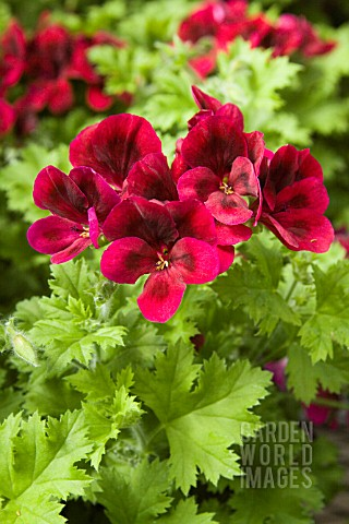 PELARGONIUM_CANDY_FLOWER_DARK_RED_REGAL