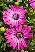 OSTEOSPERMUM SUMMERTIME ROYAL PURPLE