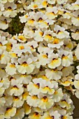 NEMESIA SUPERNESIA WHITE GOLD