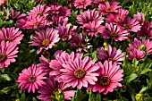 OSTEOSPERMUM IMPASSION ROSERED