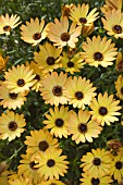 OSTEOSPERMUM SIDE SHOW COPPER YELLOW