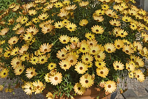 OSTEOSPERMUM_SIDE_SHOW_COPPER_YELLOW