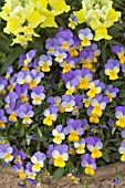 VIOLA REBELINA BLUE & YELLOW AND VIOLA FLORAL SHOWERS YELLOW