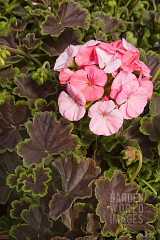 PELARGONIUM_HORTORUM_BLACK_VELVET_APPLEBLOSSOM_ZONAL