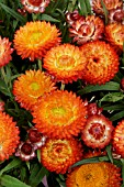 BRACTEANTHA WALLABY ORANGE BLAZE, STRAWFLOWER