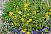 AURINIA SAXATILE SUMMIT YELLOW