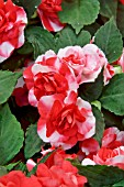 IMPATIENS CAMEO SCARLET SURPRISE IMPROVED DOUBLE