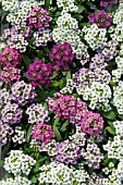 LOBULARIA GOLF MIX SWEET