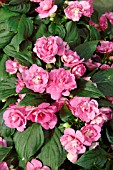 IMPATIENS CAMEO PINK DOUBLE
