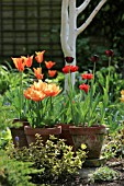 TULIPA QUEEN OF THE NIGHT  BALLERINA AND FREEMAN IN TERRACOTTA POTS