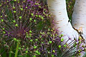ALLIUM CRISTOPHII AND BETULA JACQUEMONTII