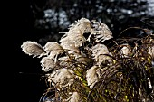 MISCANTHUS SEED HEADS IN WINTER