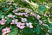 CORNUS KOUSA MARWOOD DAWN