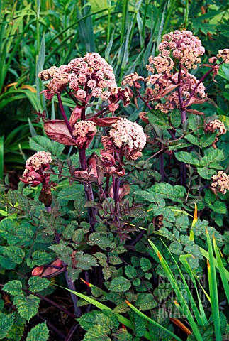 ANGELICA_SYLVESTRIS_PURPUREA