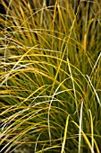 CAREX TESTACEA OLD GOLD
