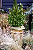 BUXUS GROWING IN OLD CHIMNEY CONTAINER IN WINTER SURROUNDED BY MIXED GRASSES