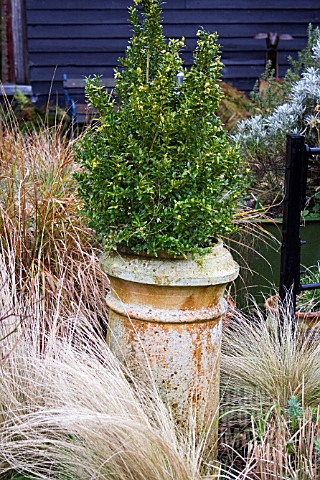 BUXUS_GROWING_IN_OLD_CHIMNEY_CONTAINER_IN_WINTER_SURROUNDED_BY_MIXED_GRASSES