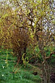 SPRING INTEREST WITH TWISTED WILLOW AND CORNUS
