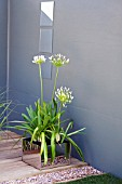 AGAPANTHUS  AFRICANUS ALBUS IN SILVER REFLECTIVE CONTAINER IN URBAN GARDEN