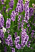 LAVANDULA AUGUSTIFOLIA BETTYS BLUE