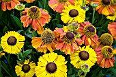 HELENIUM SAHINS EARLY FLOWERING