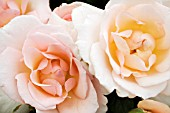 ROSA WHITER SHADE OF PALE
