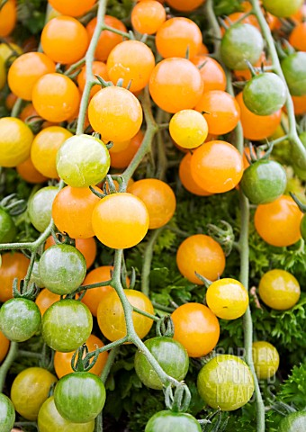 TOMATO_YELLOW_CURRANT
