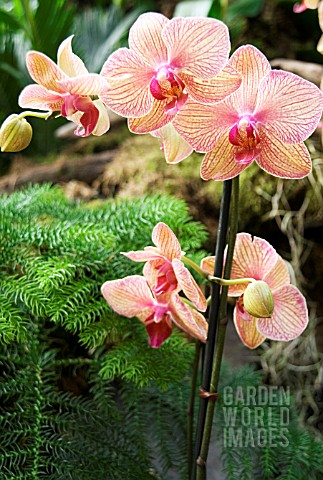 PHALAENOPSIS_BROTHER_SHOWPIECE_ORCHID_BROTHER_SHOWPIECE