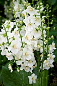 VERBASCUM PHOENICEUM HUSH OF WHITE