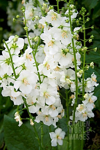 VERBASCUM_PHOENICEUM_HUSH_OF_WHITE