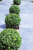 CLIPPED BUXUS BALLS AGAINST STONE PAVING