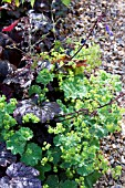 HEUCHERA FOLIAGE WITH ALCHEMILLA MOLLIS AGAINST GRAVEL PATH