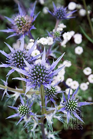 ERYNGIUM_BOURGATII_OXFORD_BLUE