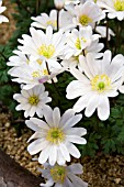 ANEMONE BLANDA WHITE SPLENDOUR GROWN IN CONTAINER