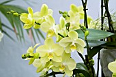 PHALAENOPSIS KUNGS GREEN STAR