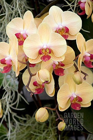 DORITAENOPSIS_SIN_YUAN_GOLDEN_BEAUTY