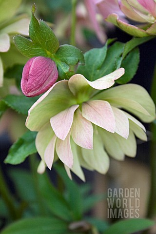 HELLEBORUS_HYBRIDUS_BRADFIELD_HYBRID_GROUP