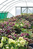 VIEW OF HELLEBORES IN PLANT NURSERY