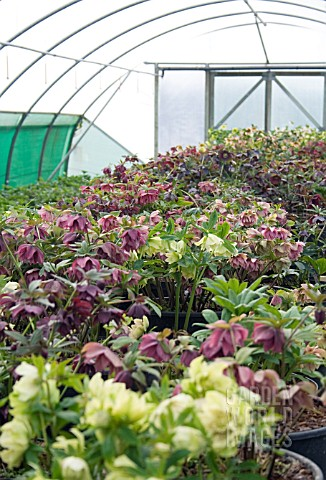 VIEW_OF_HELLEBORES_IN_PLANT_NURSERY