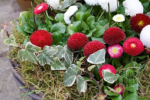 BELLIS_BELLE_GROWN_IN_HANGING_BASKET