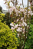 VIEW OF PRUNUS AMANOGAWA GROWING IN A BORDER