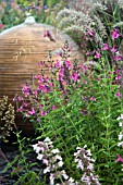 PENSTEMON GROWING IN MIXED HERBACEOUS BORDER
