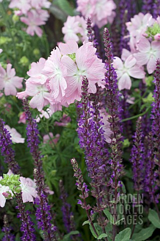 MALVA_MOSCHATA_PINK_PERFECTION_WITH_SALVIA_NEMOROSA_CARADONNA